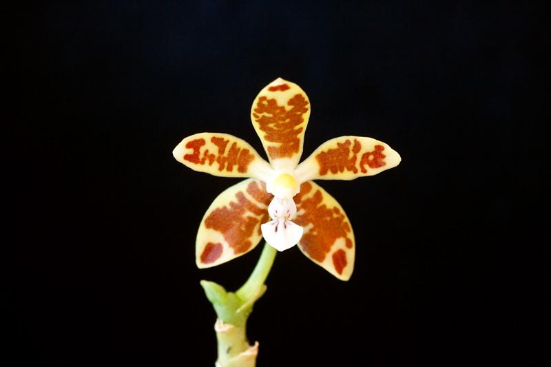 Phalaenopsis viridis Phalae26