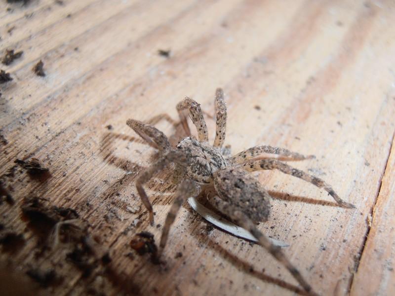 [Zoropsis sp.] Identification araignée ! P1120016