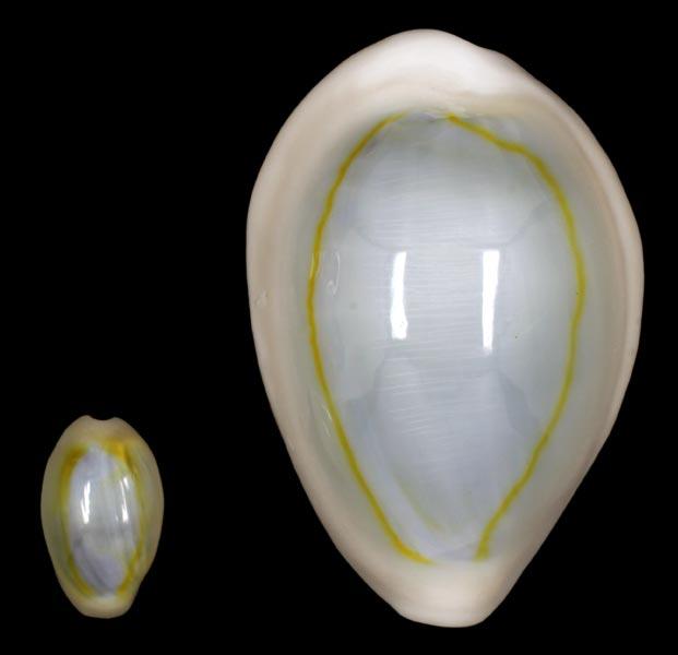 "Monetaria annulus - (Linnaeus, 1758) - ""mini""   Cyprae10"