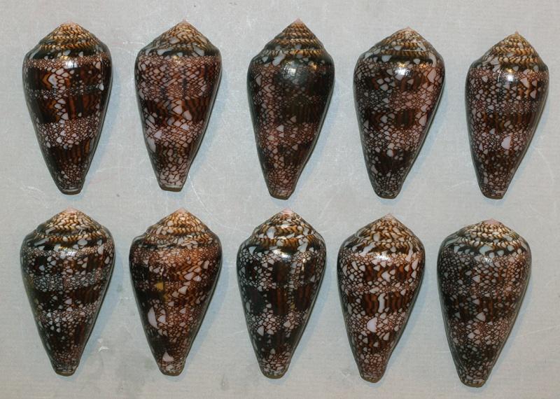 Conus (Cylinder) dalli   Stearns, 1873 Dalli_10