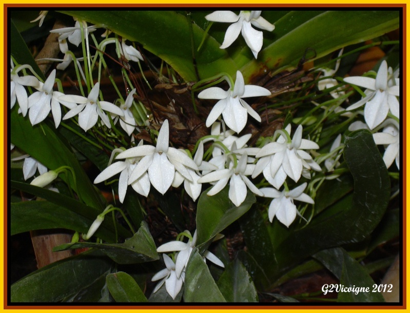 orchidée 3 Dscn0013