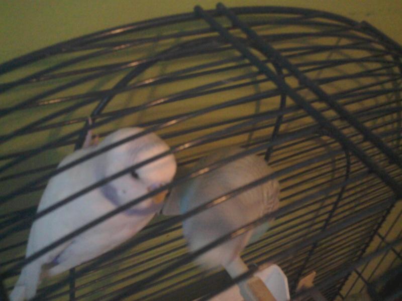 Mes perruches ce battent 2012-114