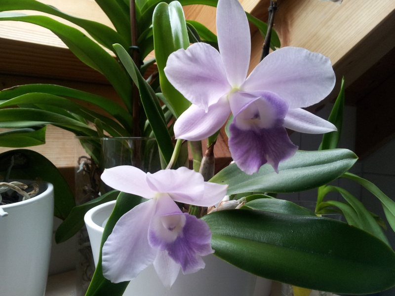 Lc. Mini Purple Coerulea! 2012-011