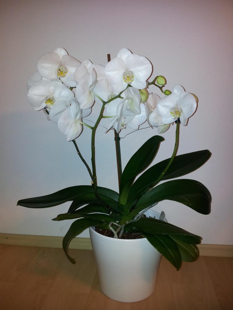 Wie seid Ihr zum Hobby Orchideenpflege gekommen? 20130112