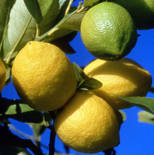Le citron : de la vitamine C en abondance, mais bien d'autres vertus… 37f50f10