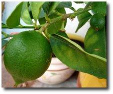 LE CITRON – Ses bienfaits et propriétés thérapeutiques Alimen10