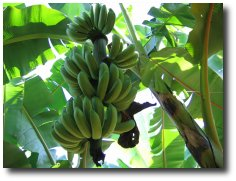 La Banane..... Alimen11