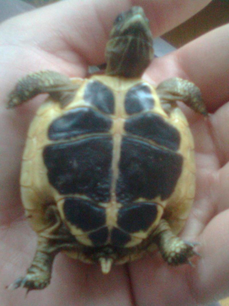 tortue d'Hermann  Photo017