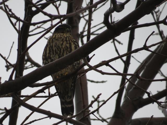 Oiseaux de proie à identifier Apervi10
