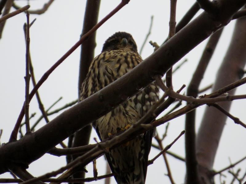 Oiseaux de proie à identifier Apervi13