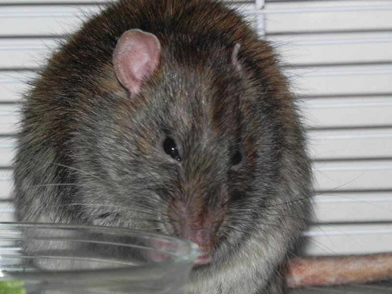 La douce retraite de Papy rat  Dscn8011