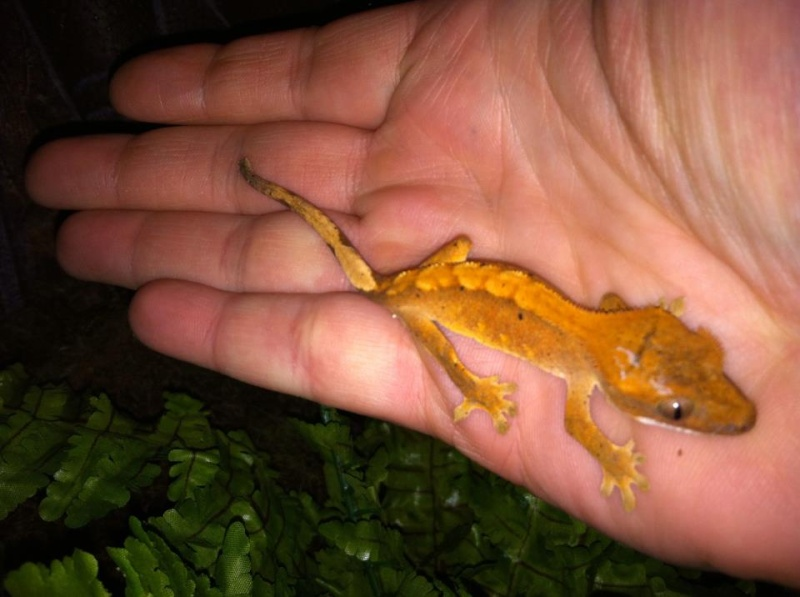 Crested Gecko Morphs 70250910