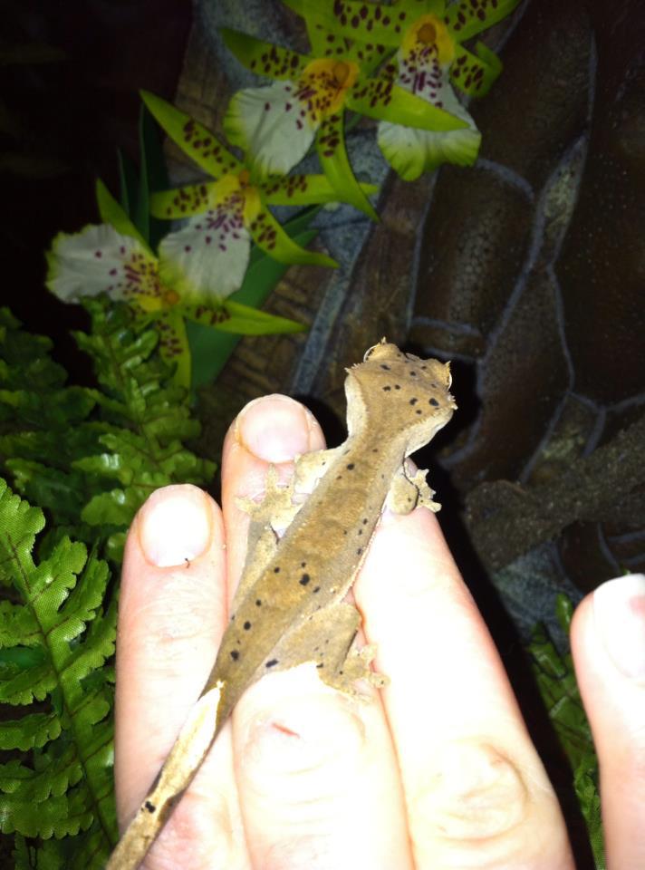 Crested Gecko Morphs 71143811