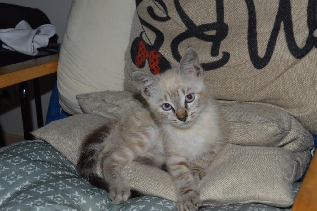 Ozzy, mâle type siamois né le 15 juin 2018 Dsc_0110