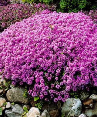 Fleurs pour éviter de tondre les bordures 11408-10