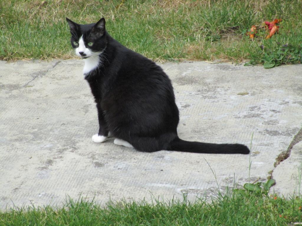 HUNA, chatte européenne Noire&blanche, née en 2012 Img_1010