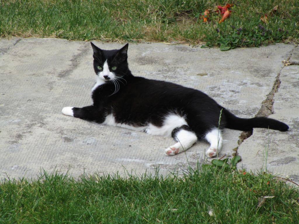 HUNA, chatte européenne Noire&blanche, née en 2012 Img_1011