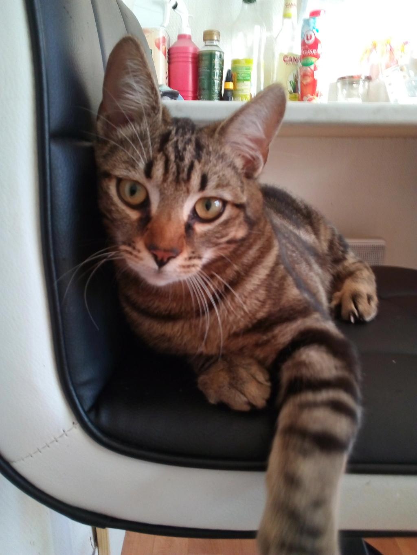 Orégon, chat européen tigré, née en 04/2018. Img_2065