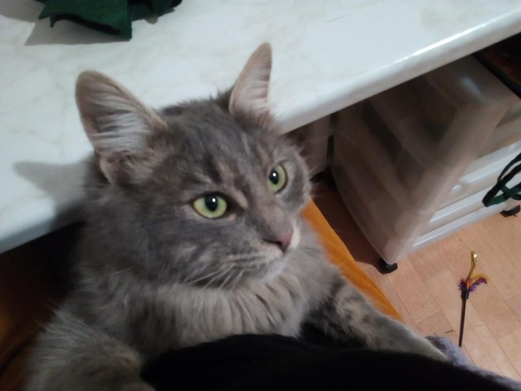 Newman, jeune mâle gris, légèrement tabby, poils longs, né en octobre 2017 Img_2082