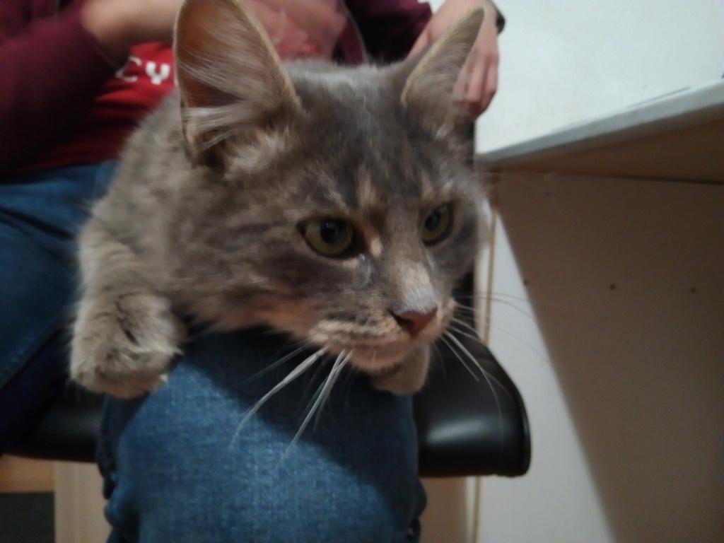 Newman, jeune mâle gris, légèrement tabby, poils longs, né en octobre 2017 Img_2085