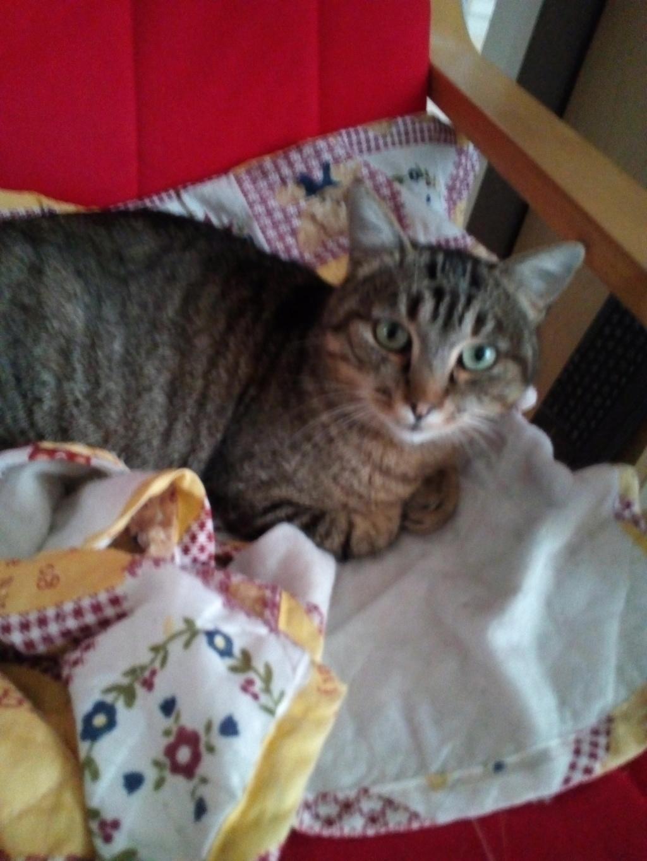 Nevis chatte européenne tigrée née le 1/11/2017 Img_2095