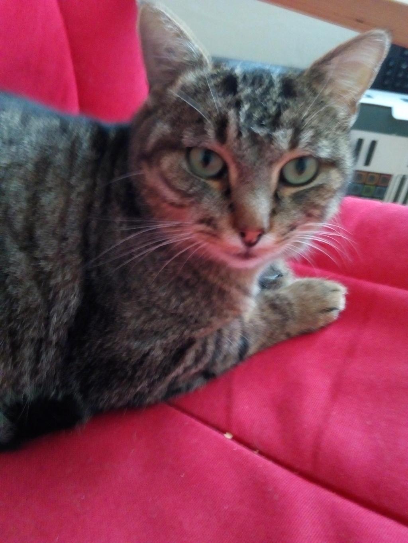 Nevis chatte européenne tigrée née le 1/11/2017 Img_2096