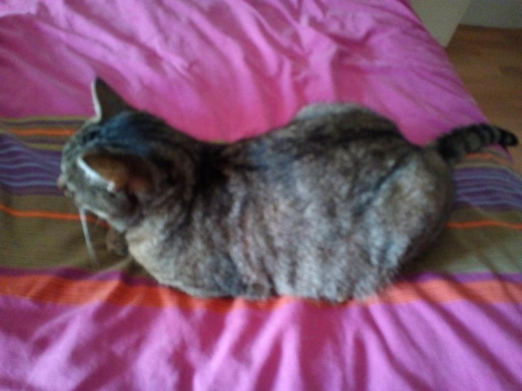 Nevis chatte européenne tigrée née le 1/11/2017 Img_2098