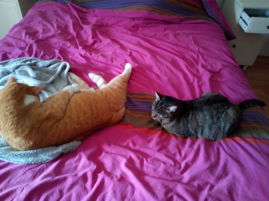 Nevis chatte européenne tigrée née le 1/11/2017 Img_2099