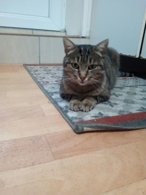 Nevis chatte européenne tigrée née le 1/11/2017 Img_2102