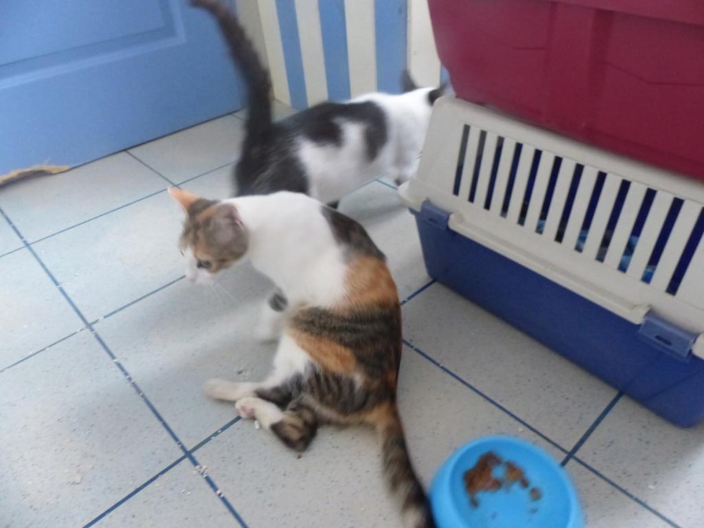 KITTY, Chatte, née  2017 (ORASTIE) Très gentille chatte blessée - en FALD chez TANIA (depart03) P1120429