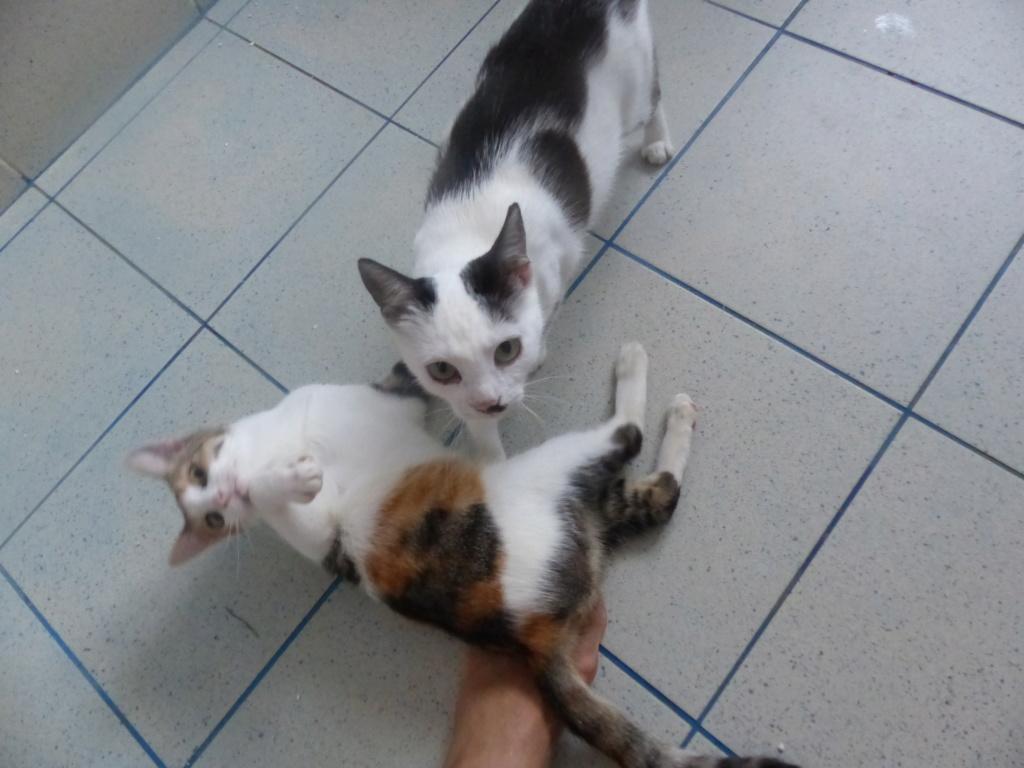 KITTY, Chatte, née  2017 (ORASTIE) Très gentille chatte blessée - en FALD chez TANIA (depart03) P1120430