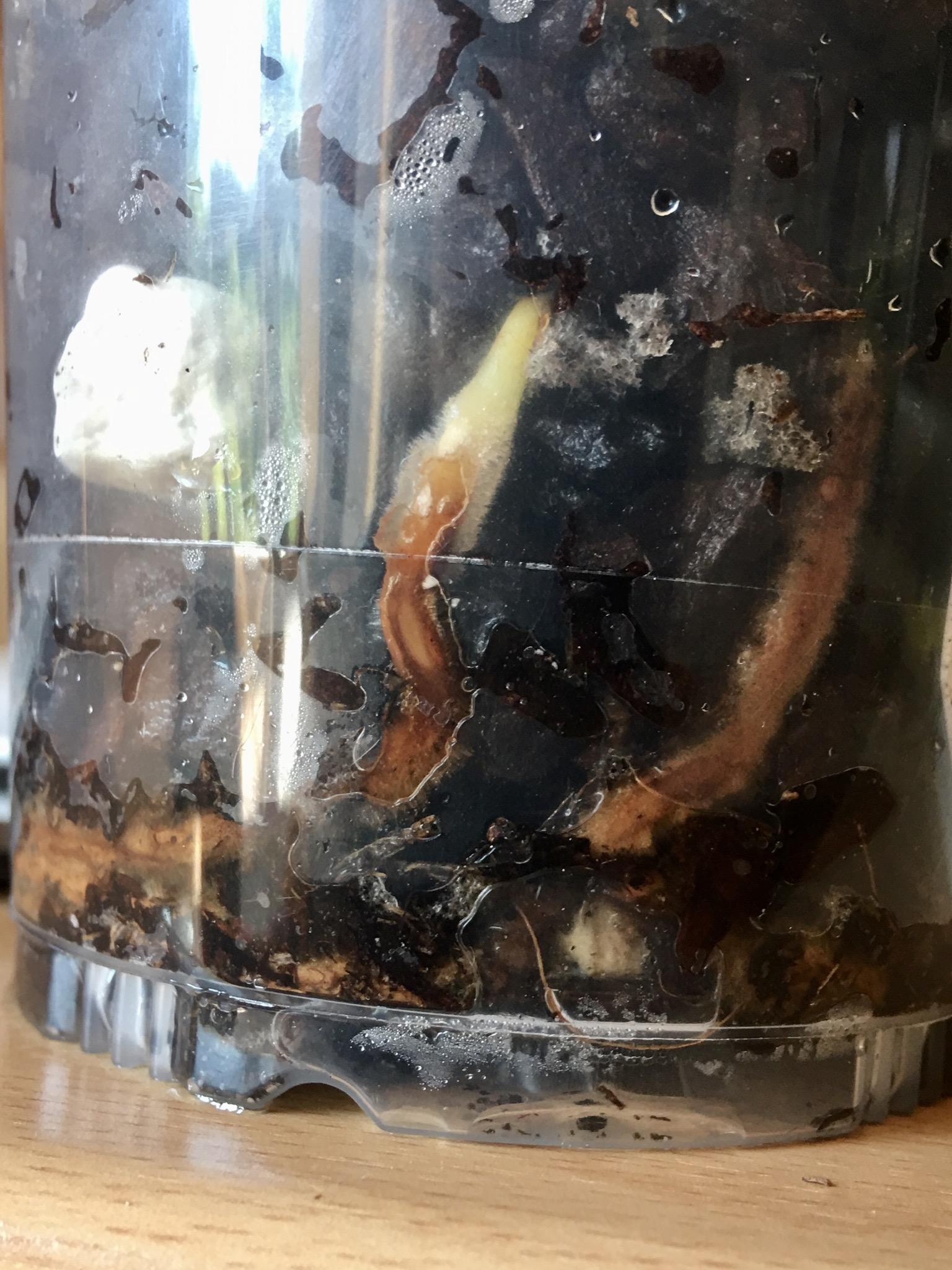 Spathe très foncée chez tigrinum ? D3abc910