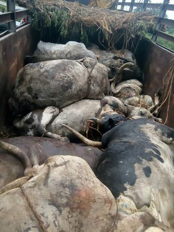 UPDATE: What Rivers State Did To The 27 Dead Cows Imported Into The State From North (Photos) 1-15310