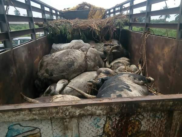 UPDATE: What Rivers State Did To The 27 Dead Cows Imported Into The State From North (Photos) 4-4410