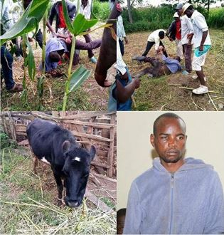I Sleep With Cows Because Girls Can Give Me HIV – Man Confesses Cow10