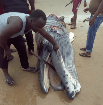 Baby Whale Butchered In Delta State Whale-13