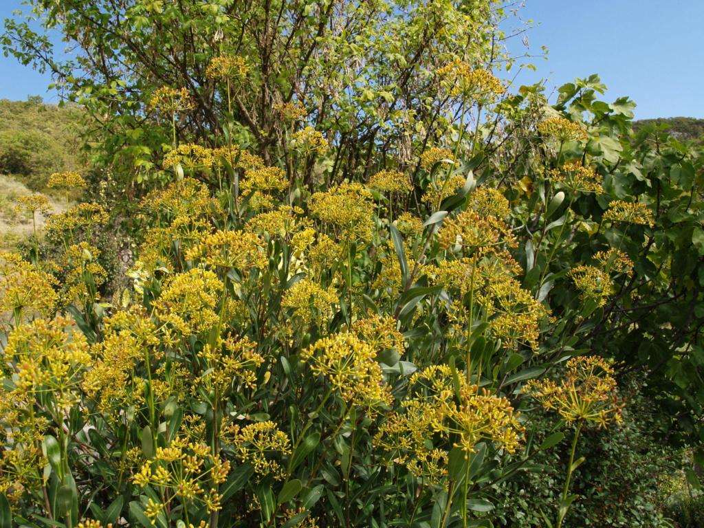 Une invasive  Bupleurum fruticosum Jarloz11