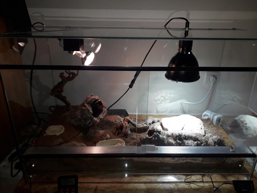 Installation terra Dipsosaurus dorsalis 20181210