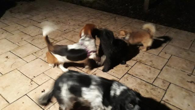 DORA basset hound - SERBIE 20190120