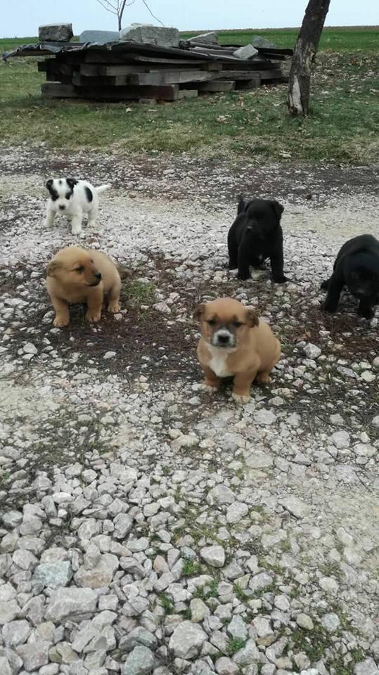 RASTY joyeux petit chien roux en FA dans le dpt 67 - SERBIE 27972810
