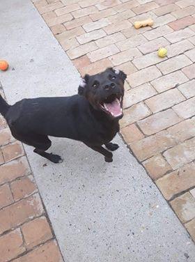 JONNY magnifique croisé labrador noir - en FA dpt 67  35347210