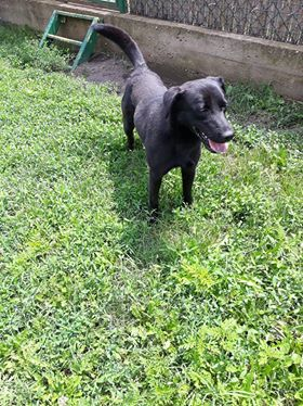JONNY magnifique croisé labrador noir - en FA dpt 67  35541510