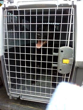 JONNY magnifique croisé labrador noir - en FA dpt 67  36287210