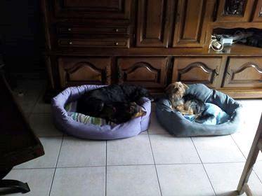 MICI (CRNKA) petite chienne des rues - SERBIE 36362510