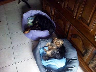 MICI (CRNKA) petite chienne des rues - SERBIE 36444310