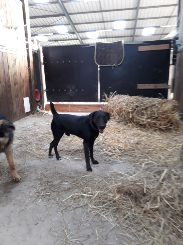 JONNY magnifique croisé labrador noir - en FA dpt 67  36485810