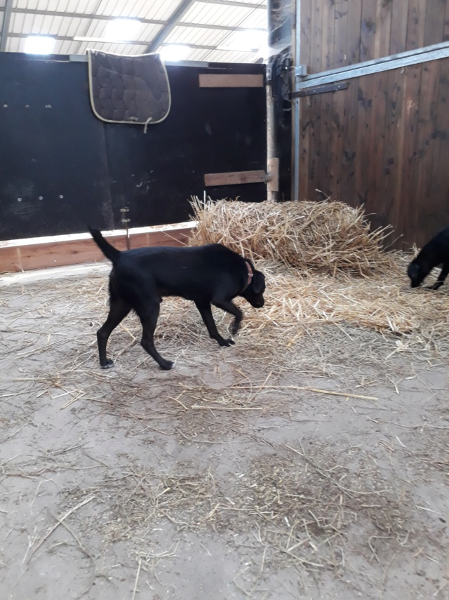 JONNY magnifique croisé labrador noir - en FA dpt 67  36492310