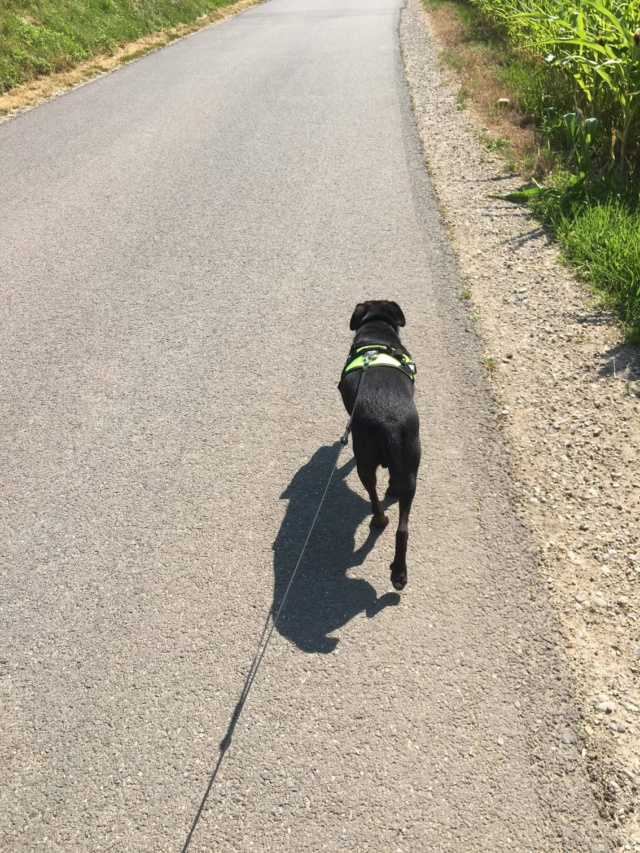 JONNY magnifique croisé labrador noir - en FA dpt 67  36915610
