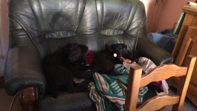 JONNY magnifique croisé labrador noir - en FA dpt 67  36954410