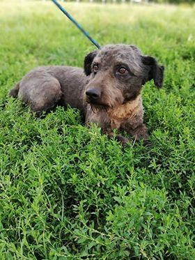 CUPKO croisé chien d'eau - SERBIE 37948110